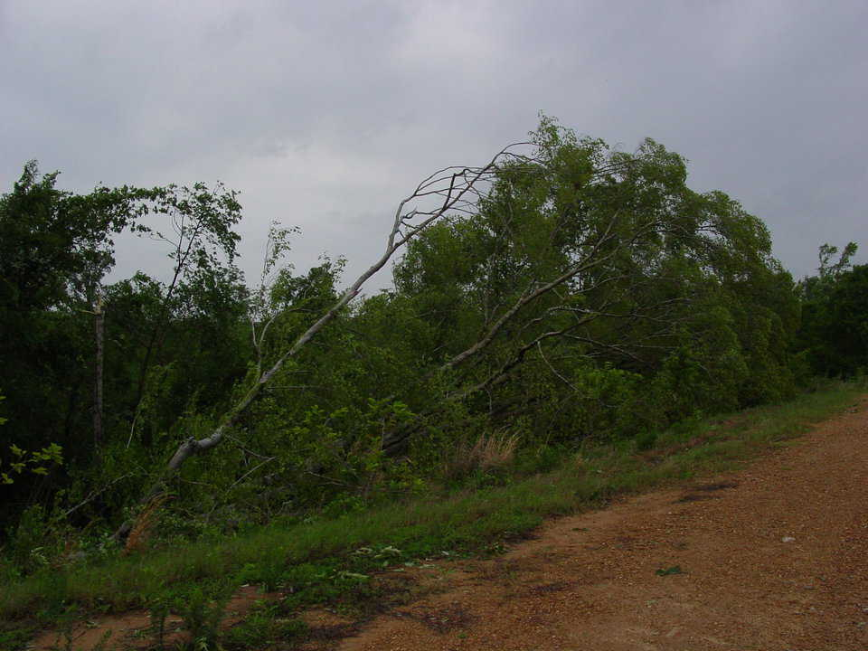 Destroyed – On the Averys' property, trees that had survived for more than 100 years did not survive this F3 tornado. It uprooted this large hickory.